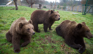New European Bear cubs at Camperdown Wildlife Centre Image