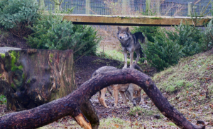 New wolves arrive at Camperdown Wildlife Centre Image