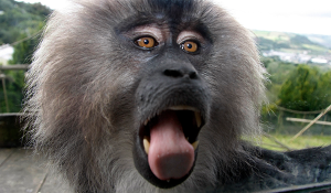 First chance to see Lion-tailed Macaques at Camperdown Wildlife Centre this Sunday Image