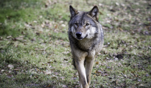 Watch as wolf cub at Camperdown Wildlife Centre makes first appearance Image