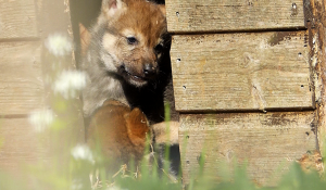 New footage of Wolf cubs at Camperdown Wildlife Centre Image