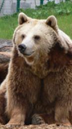 european brown bear Image