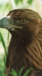 golden eagle Image