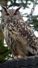 european eagle owl Image