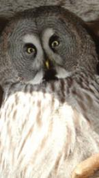 great grey owl Image