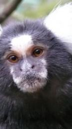 common marmoset Image