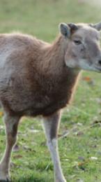 mouflon Image