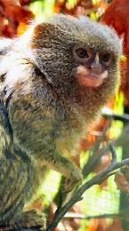 pygmy marmoset Image