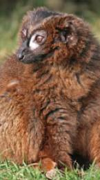 red-bellied lemur Image
