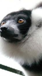 black and white ruffed lemur Image