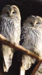 ural owl Image